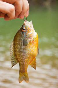Bluegill - Rider Lake catch & release fishing